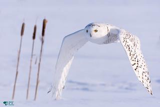 ''Auprès de toi!'' Harfang des neiges- Snowy Owl