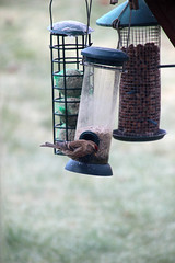 Redpoll on Feeder. (zxious) Tags: canon600d tamron18270mmvclens redpoll bird nature snowdonianationalpark dolwyddelan febuary2017 winter feeders sunflowerseeds cold food fatballs outside garden