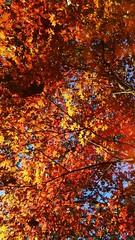 A testa alta (sHaDiNa) Tags: foglie leaves sole sun autunno autumn autumnsun soleautunnale parma photowalking walkingphotography walkingphoto italia italy emiliaromagna