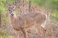 600_1461 (DigiDreamGrafix.com) Tags: deer doe buck white tail animal portrait morning curious furry fur forest woods brown green hunt hunting