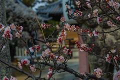 Sugawara Tenmangu: Enjoying the Fragrance of Plum Blossoms in Nara. (KyotoDreamTrips) Tags: bonsai japan nara plumblossoms sugawaratenmangu sugawaranomichizane ume 梅 盆栽 菅原道真 菅原天満宮