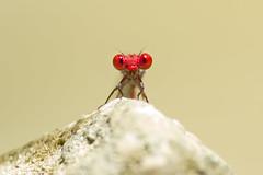 cf Pseudagrion pilidorsum (male) (tarjangz) Tags: bolinao ilocosregion philippines odonata zygoptera dragonfly nature red eyes insect
