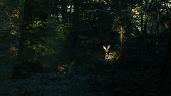 In The Spotlight (Daphne-8) Tags: roe deer doe fawn reh kalb animal tier wildlife forest woods wald bosque nature light licht sun sonne magic magie naturaleza ree young jung eyes