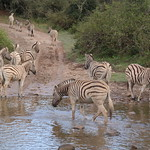 Zebraherde, Südafrika