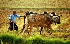 Village Life (Max Loxton) Tags: life pakistan man beautiful village grain working bulls fields greenery pakistani yani lahore towards yasir nisar yasirnisar towardspakistan beautifulpakistan pakistaniphotographers pakistaniphotographer maxloxton pakistaniat wwwtowardspakistancom
