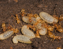 "Yellow Meadow Ants (lasius flavus) an(5) • <a style=""font-size:0.8em;"" href=""http://www.flickr.com/photos/57024565@N00/159362783/"" target=""_blank"">View on Flickr</a>"