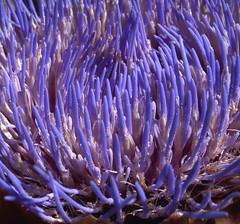 Over 2000 (cobalt123) Tags: blue flower detail macro texture 2000 pattern glow purple center artichoke over2000 filledframe