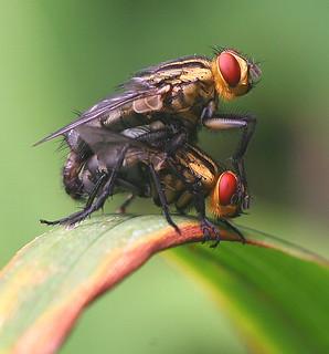 Mating Flies