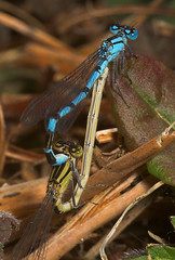 """A pair of mating Common Blue Damselfl(7) • <a style=""""font-size:0.8em;"""" href=""""http://www.flickr.com/photos/57024565@N00/162949057/"""" target=""""_blank"""">View on Flickr</a>"""
