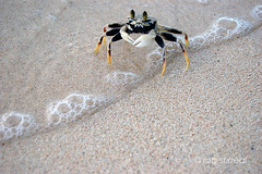 Mr. Crab gett'n wet (rob surreal) Tags: ocean beach water sand san posing crab luis guam