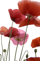 poppy (yocca) Tags: pink red orange flower green topf25 june 2006 fave poppy 50faves bigfave abigfave 300v30f30c