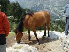 A bad-mannered horse (David Domingo) Tags: espaa horse mountain spain europa europe huesca montaa pyrenees cima pirineos pirineus pirineo pirineu espanya aragn aneto arag valledebenasque posetsmaladeta jun2006