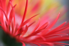 (Yana_B) Tags: red flower macro rainbow gerbera