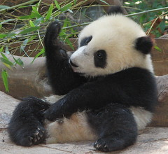 Su Lin is doing some kind of ritual before eating her fruitsicle (kjdrill) Tags: china california bear baby tree station giant zoo cub dance panda hand sandiego leg chinese lick research sit hi elm pandas endangeredspecies feetsies sdzoo sulin 34f