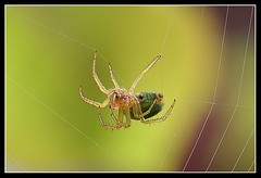Teje que teje (piscochile / Hugh Honeyman) Tags: insectos macro nature canon insect 350d spider jardin sigma araa makro garten insecto 150mm sigma150f28m piscochile aplusphoto