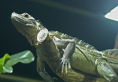 iguana (bea2108) Tags: animal animals zoo reptile iguana reptiles