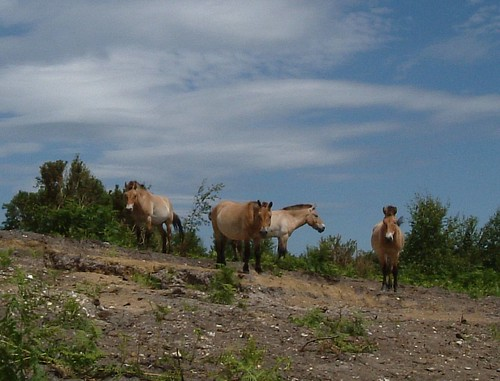 Reintroduced into its native Mongolian habitat, the Przewalksis horse now thrives in the wild.