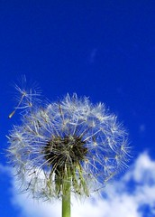 There it goes.... (Earlette) Tags: blue sky white flower ilovenature weed seed fluffy blow dandelion wish makeawish