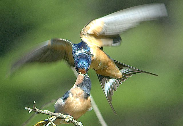 Barn Swallow ( Hirundo rustica) Mother feeding young on the fly