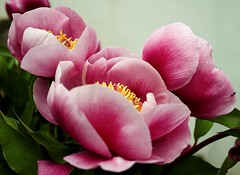 Flor silvestre (pericoterrades) Tags: españa flower andalucía spain flor huelva paraweb pericoterrades gtaggroup goddaym1