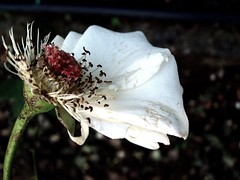 the addams family (arte_molto_brutta_2) Tags: flowers white rome flower roma rose decay particular