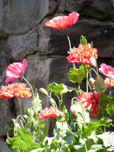 Poppies and Stone