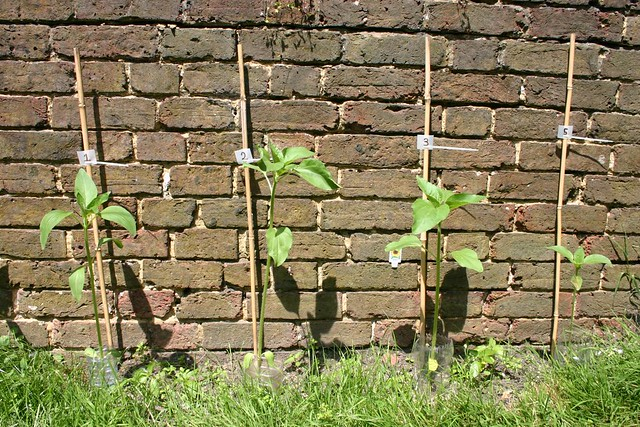 Sunflower Competition - day 30