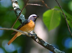 common redstart. phoenicurus phoenicurus.m (mind_lab) Tags: bird redstart 85points