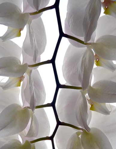 ORCHID´S BRANCH BUNCH I