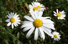 ox-eye daisies (caro1_uk) Tags: nottinghamshire sundaywalks clumberpark