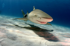 Lemon Shark (Andi Voeltz) Tags: canon shark underwater scubadiving sharks bahamas andi fins dpg marinelife lemonshark underwaterphotography underwaterphoto wetpixel tigerbeach digideep ultimateanimalphotography hugyfot voeltz andivoeltz