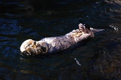 otter tummy (Bill Liao) Tags: playing canada wet water vancouver swimming fur otter seaotter enhydralutris watermammal swimmingotter