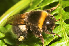 "Bumble Bee(8) • <a style=""font-size:0.8em;"" href=""http://www.flickr.com/photos/57024565@N00/188723229/"" target=""_blank"">View on Flickr</a>"