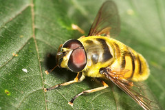 """Hoverfly (myathropa florae) • <a style=""""font-size:0.8em;"""" href=""""http://www.flickr.com/photos/57024565@N00/190865838/"""" target=""""_blank"""">View on Flickr</a>"""