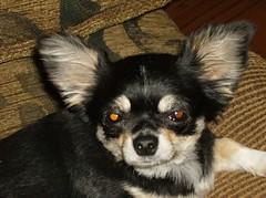 Nibbler (mousetrout) Tags: arizona dog pet chihuahua animal joey peoria nibbler peoriaaz