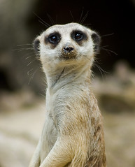 Quizzical Meerkat (jamesblah) Tags: meerkat surprise interestingness248 i500 5hits