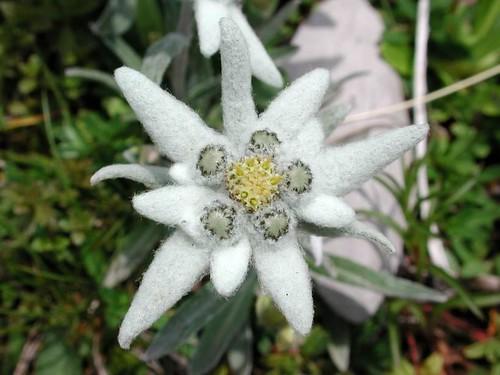 Edelweiss (Leontopodium alpinium)
