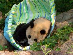 Tai Shan in his pool filled with ice (desbah) Tags: zoo panda taishan