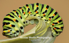 Oruga de Machaon: Fase de crisalida (Nicolas Moulin (Nimou)) Tags: macro up close insects caterpilar oruga raynox machaon kodak6490