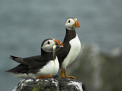 A Lovely Couple (Magdalen Green Photography) Tags: orange black bird nature birds ferry ilovenature scotland boat interestingness fife dundee beak scottish puffin puffins oneyear anstruther seabirds isleofmay rspb fraterculaarctica featheryfriday atlanticpuffins specanimal royalsocietyfortheprotectionofbirds animalkingdomelite