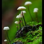 Pinwheel Marasmius or Horsehair Mushroom (Marasmius rotula)