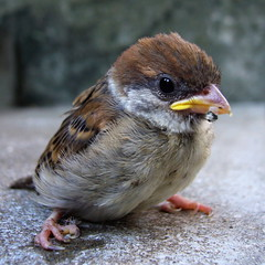 little young sparrow (anzyAprico) Tags: cute bird topf25 animal ilovenature topf50 topf75 quality 2006 sparrow topf100  suzume specanimal animalkingdomelite world100f