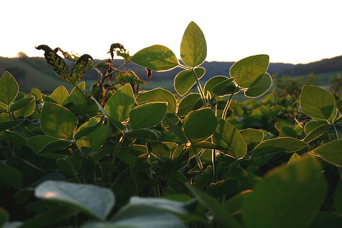 Soybeans in the sunset photo coutesy of Sandor Weisz