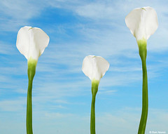 Calla Lilies and Clouds (nomm de photo) Tags: clouds photoshopped callalilies digitallyaltered reinnomm availableforpurchase availableforlicensing
