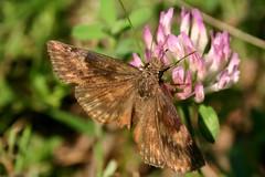 Mmm mmm, Good (Razzy Raz) Tags: brown ny flower nature butterfly insect ilovenature wing moth skipper butterflies july lepidoptera dorsal clover entymology midsize hesperiidae bmna duskywing wildindigoduskywing erynnisbaptisiae pyrginae erynnis prockter bokehsonicejuly bokehsonicejuly29