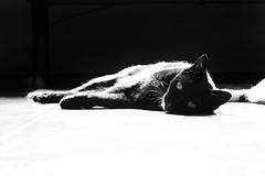 Contrasts (auralis) Tags: blackandwhite bw white black cat canon photography floor highcontrast 50mmf14 30d