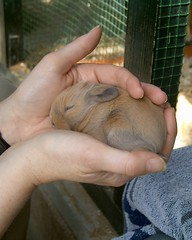 baby rabbit (ksvrbrg) Tags: babyrabbit