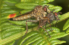 "Robberfly (dysmachus trigonus) with prey • <a style=""font-size:0.8em;"" href=""http://www.flickr.com/photos/57024565@N00/205804086/"" target=""_blank"">View on Flickr</a>"