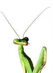 Praying Mantis (HamWithCam) Tags: atlanta studio atl 100mm hamwithcam hwc prayingmantis 100mmmacro ef25iiextentiontube