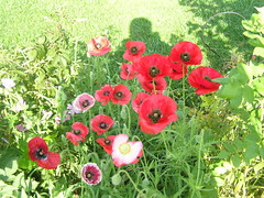 Backyard Poppies 003 (Chrisser) Tags: flowers summer ontario canada nature garden gardening fourseasons poppies closeups papaver papaveraceae i500 olympuscamediac765